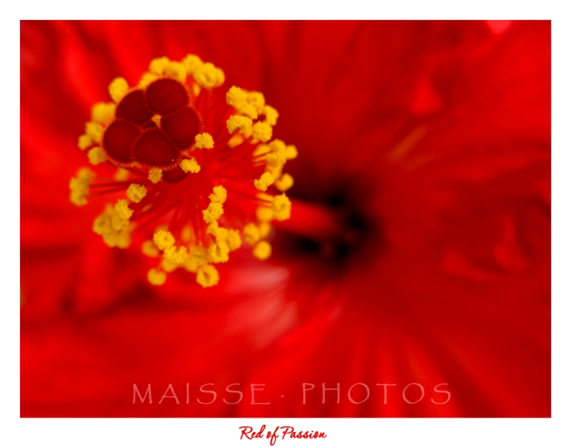 hibiscus1Petit